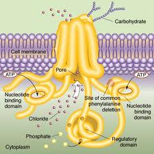Diagram of the mechanism for the transport of chloride across a cell mechanism.